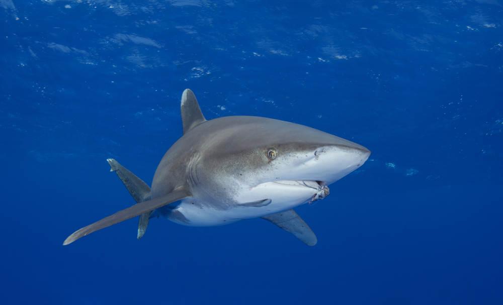 Population numbers of the whitetip shark have been dipping sharply, prompting conservation groups to question if the species should be listed as threatened.