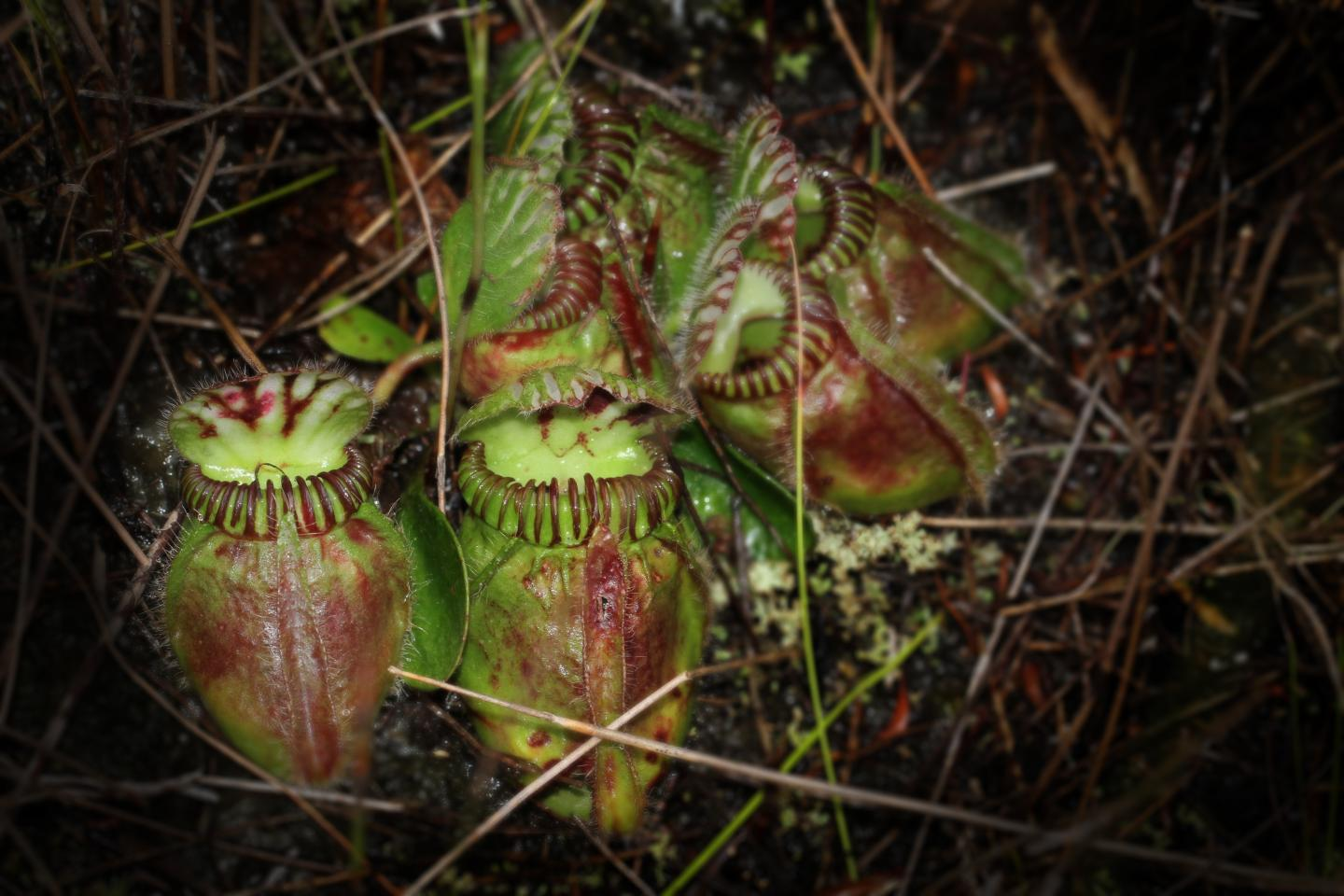 A team of researchers have set out to study the genetics of the pitcher plant and trace the evolution of carnivorous plants.