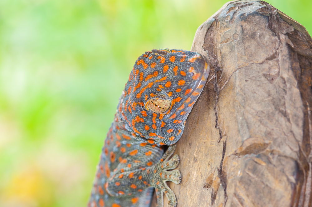 A newly-discovered gecko species possesses large scales that can peel away when the animal needs to speed away from predators.
