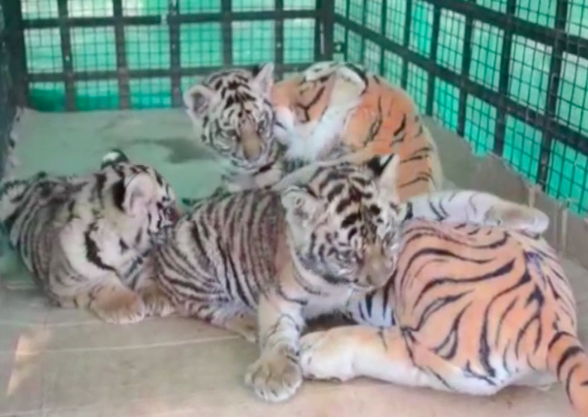 When three orphaned tiger cubs refused to eat, park rangers had a solution: let a stuffed toy tiger feed them using hidden milk bottles.