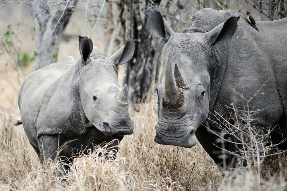 Poachers are hunting black rhinos into extinction. Could genetic profiling help create conservation efforts to save the horned beasts?