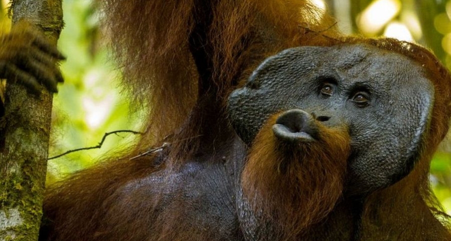 A team of researchers have discovered that studying the kiss squeaks of orangutans has shed light on the evolution of human language.