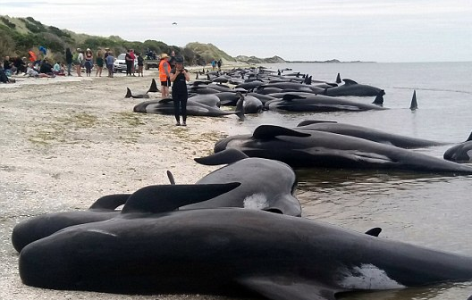 Rescuers are working hard to save the 100 whales still alive after over 400 beached themselves on South Island in New Zealand.