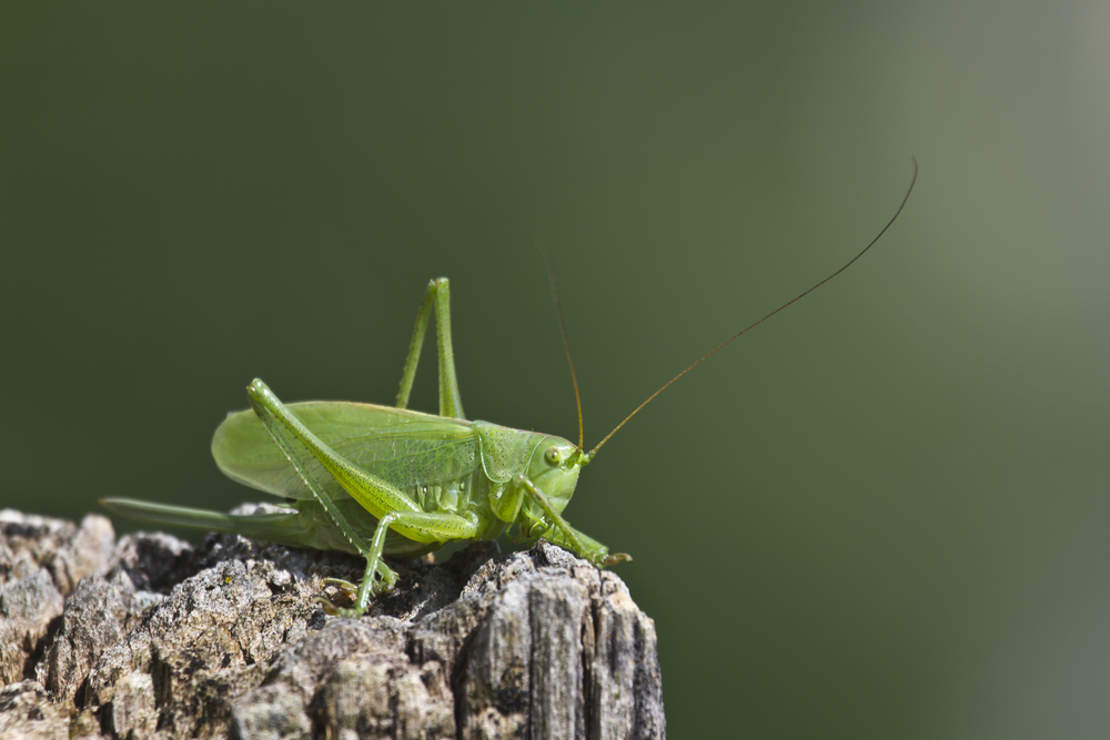 Without action, Europe could soon lose its cricket song, the IUCN says.