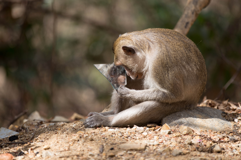 We may not catch them singing into a hairbrush anytime soon, but it turns out that monkeys can recognize themselves in the mirror.