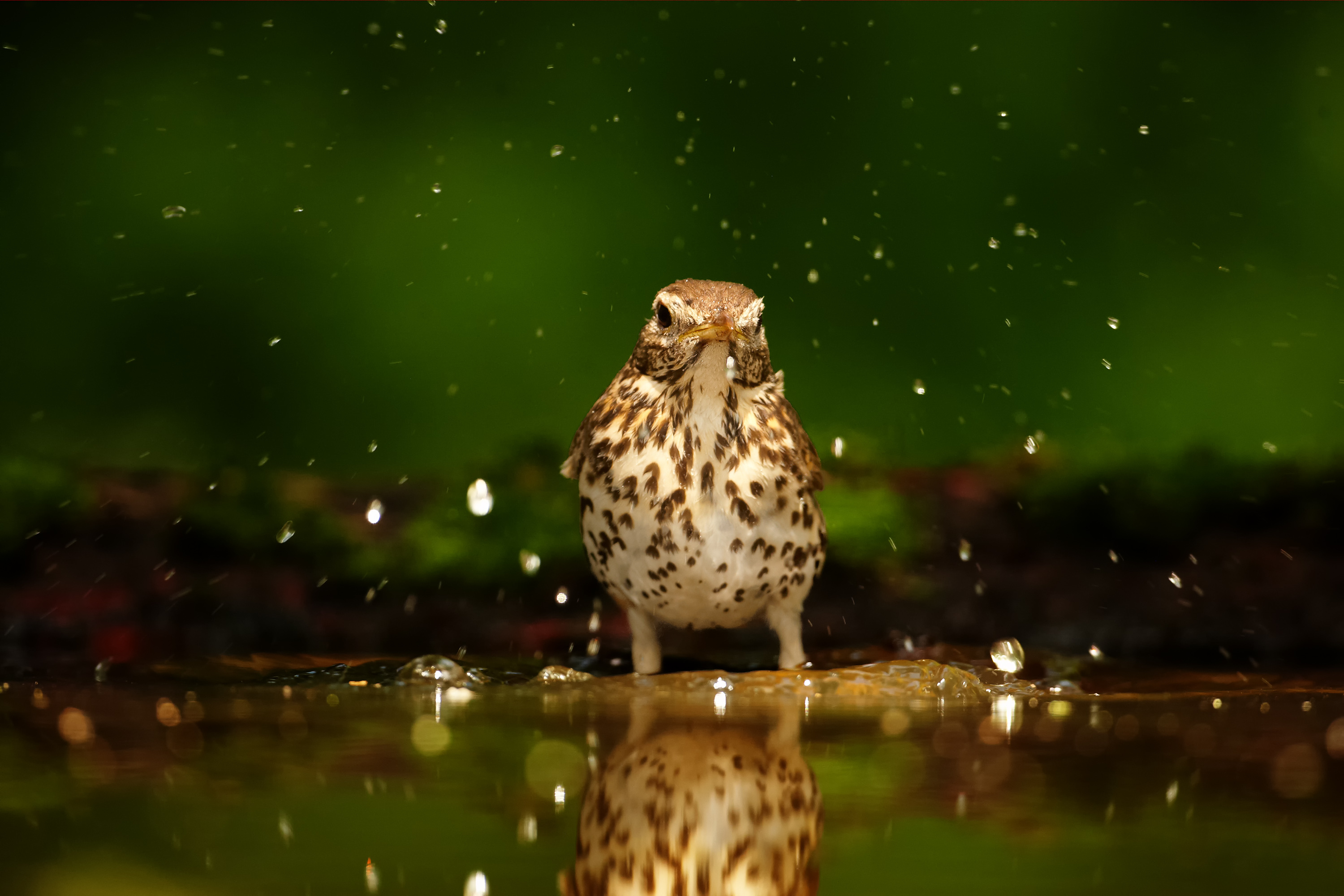 Song birds, especially the smallest of them, are vulnerable to lethal dehydration when heat robs them of water resources as a result of climate change.