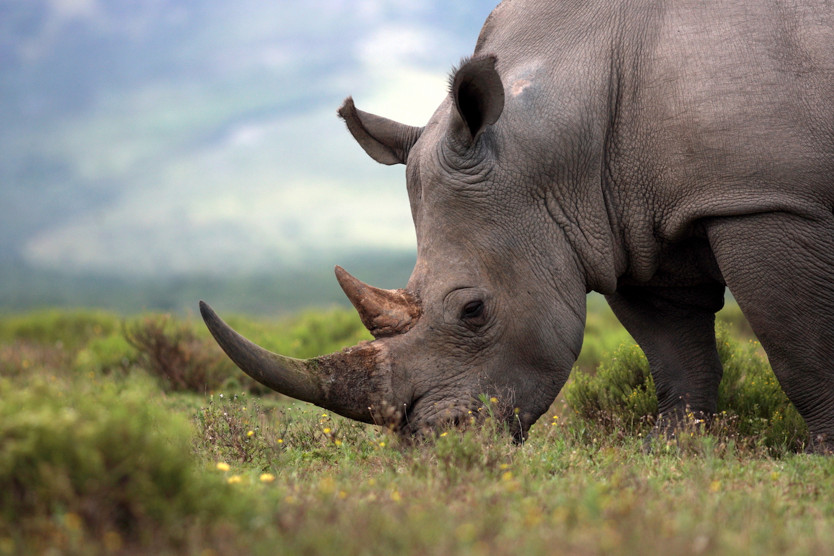 Last week, a white rhinoceros named Vince was killed by poachers at a wildlife park near Paris. Demand for the horn has skyrocketed in Asia and Africa.