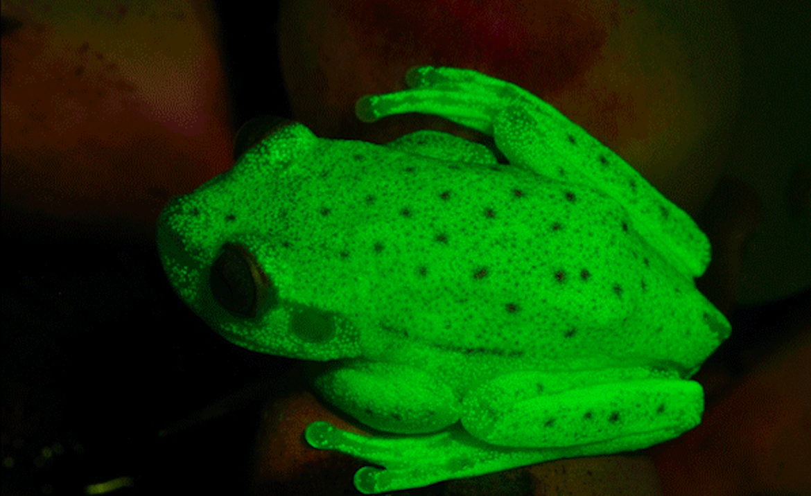 When shone under ultraviolet light, the Amazonian polka dot tree frog turns a fluorescent green, making it the first fluorescent frog ever discovered.