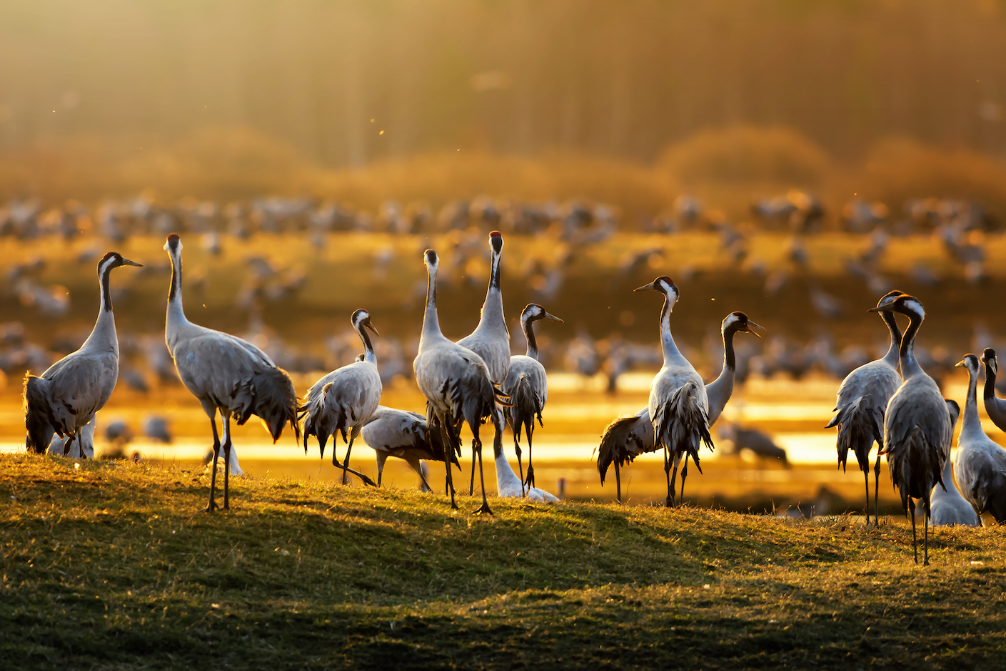 A new study has compared the results of wildlife surveys to true population size by looking at the more than thirty years of surveys of crane populations.