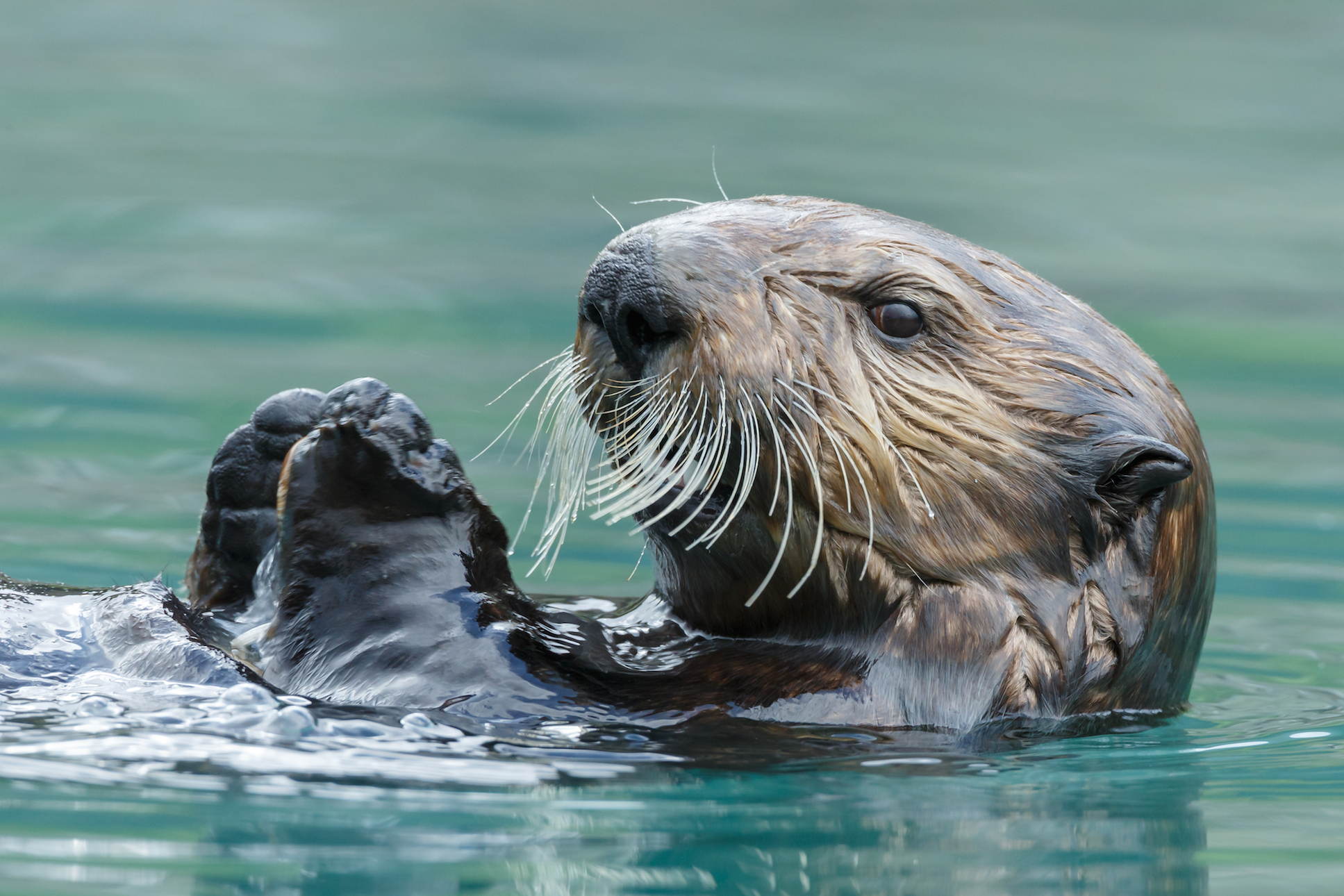 According to a recent study, sea otters have been using tools for far longer than other marine animals, including dolphins.