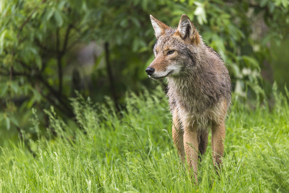 Although they're cousins, eastern coyotes don't match wolves' hunting prowess when it comes to large game, a new study found.