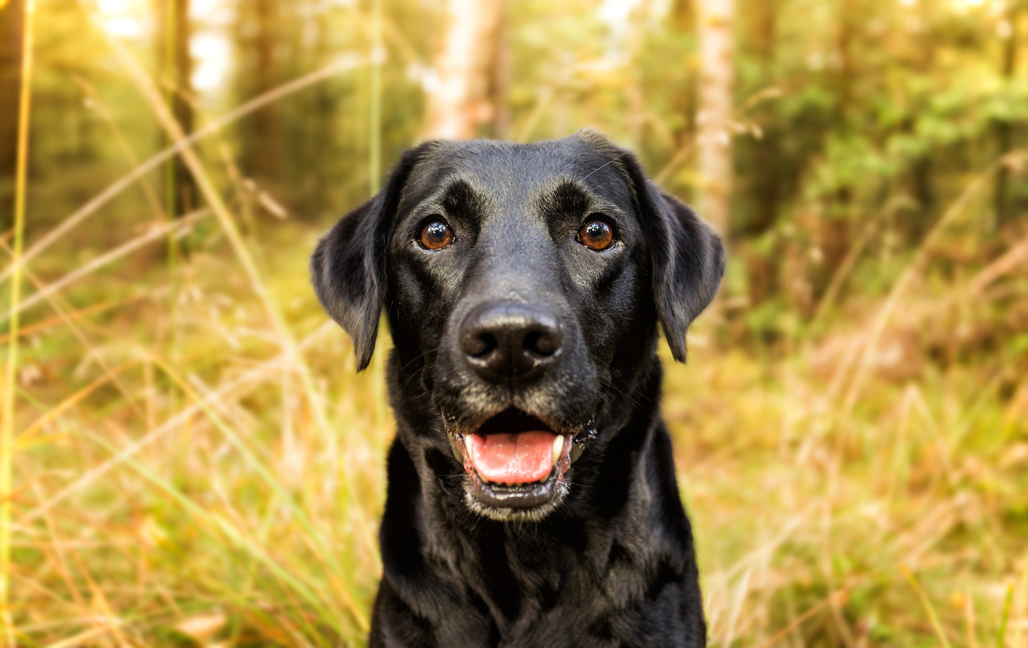 What if trained dogs could diagnose the existence of cancer cells just about as accurately as the most advanced mammography and MRI technology?