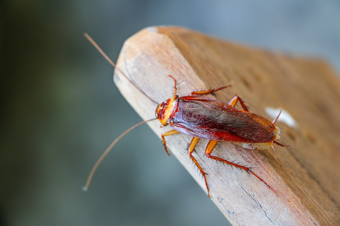 Thanks to parthenogenesis, a type of asexual reproduction, female cockroaches can give birth to female babies without the participation of males.