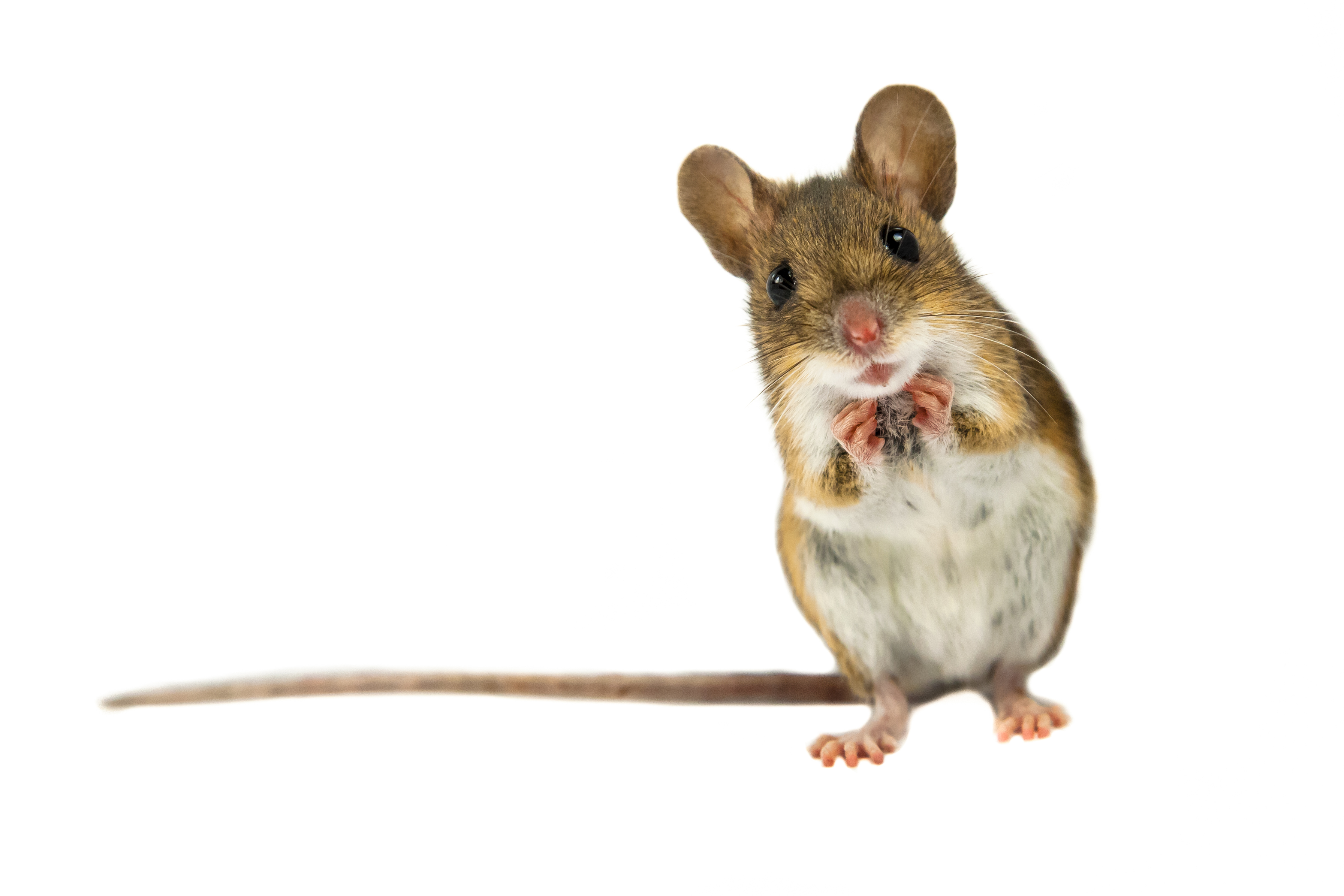 """No one likes to think of that mouse creeping through their kitchen in the middle of the night as being """"domesticated,"""" but that's how scientists think of the situation."""