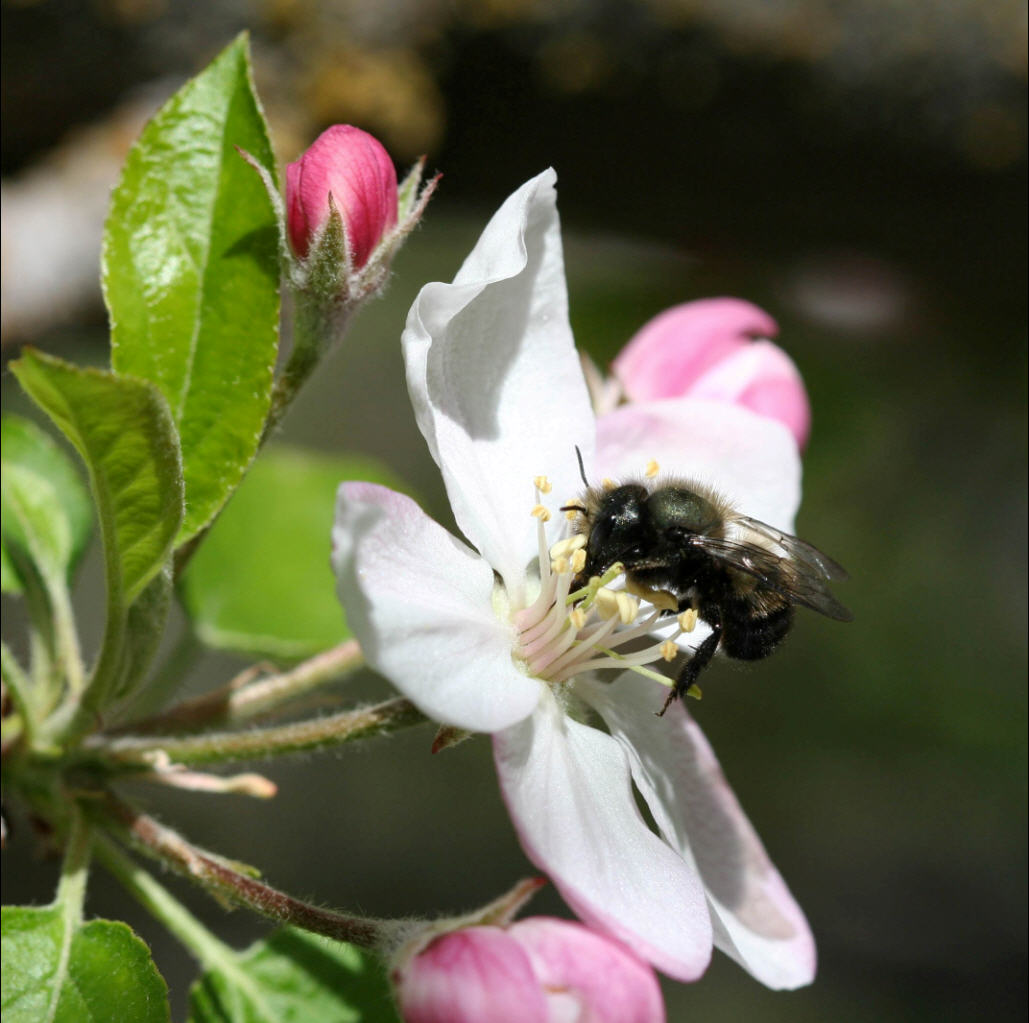 With the disturbing decline of the honeybee population over the past few years, orchard growers are turning to blue orchard bees to help pollinate.
