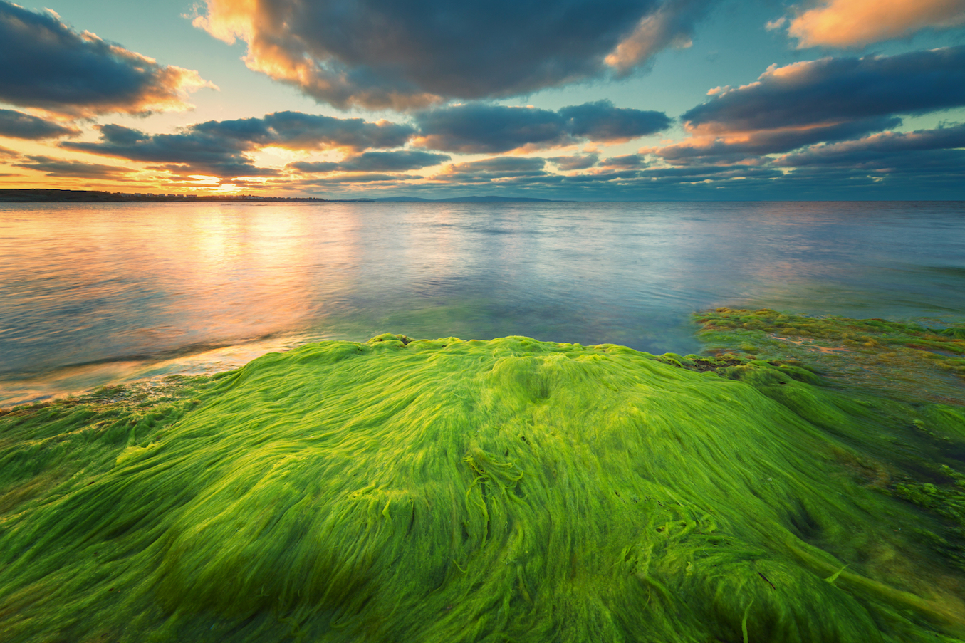 Algae just might be at the center of a huge defense against climate change, said an international team of researchers led by Cornell University.