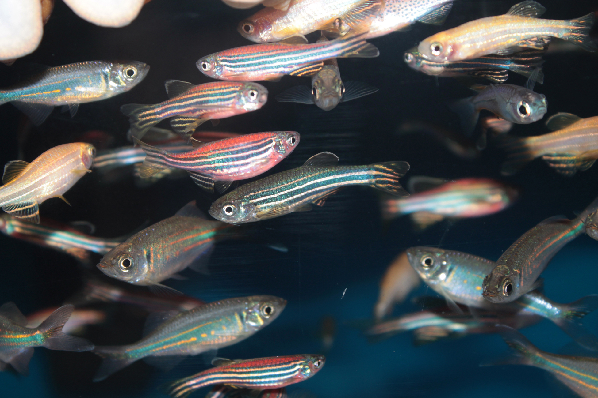 Fish need friends too! Or it's at least true that zebrafish seek the support of their shoal – or community of zebrafish – in times of stress.