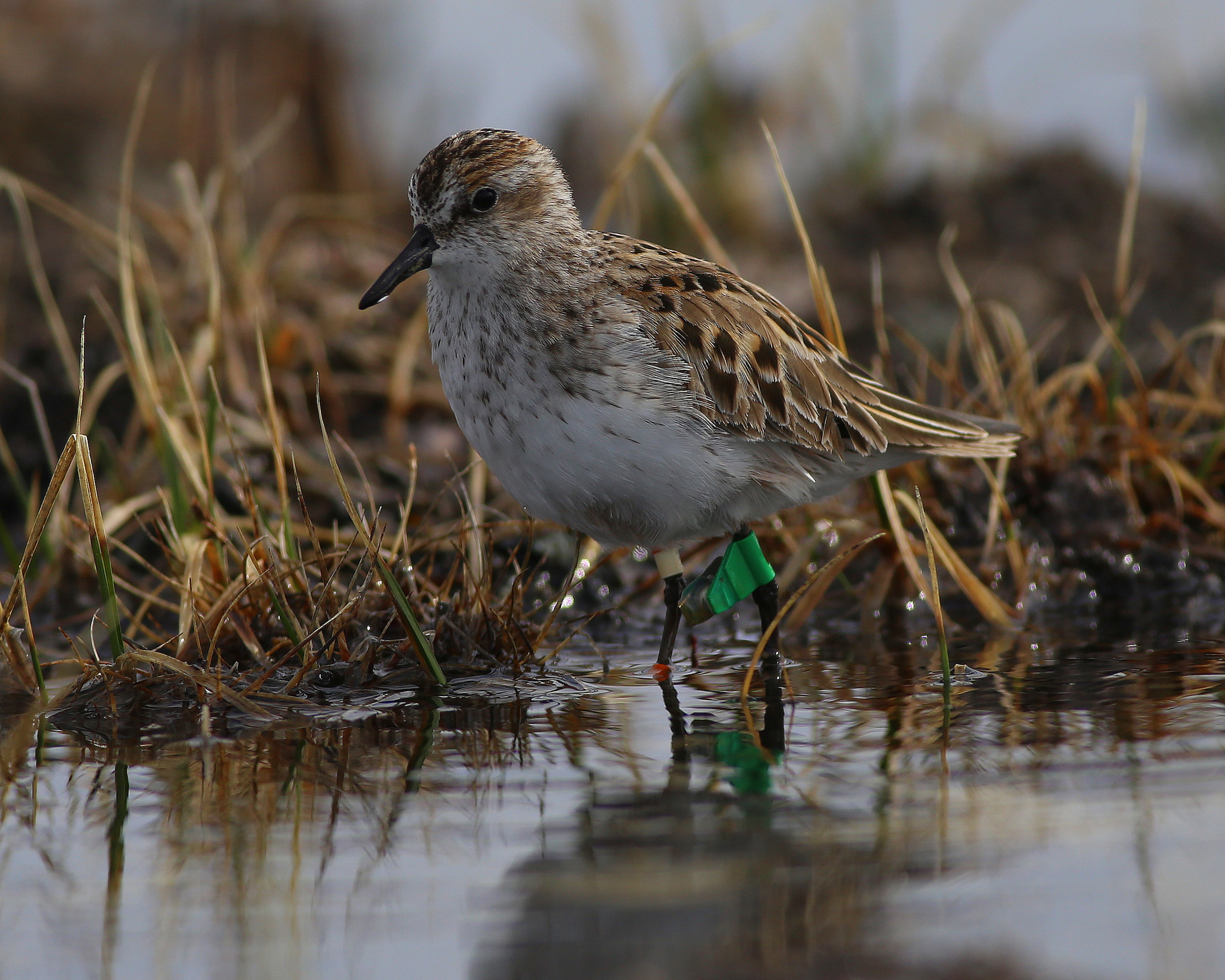 Scientists have begun studying bird migration cycles after noticing a mysterious population decline occurring with the Semipalmated Sandpiper.