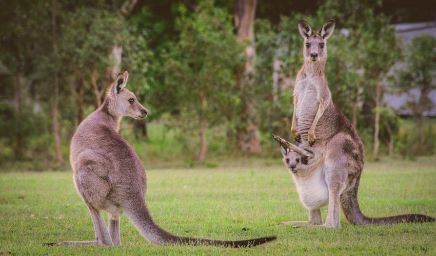 Kangaroo Home Name