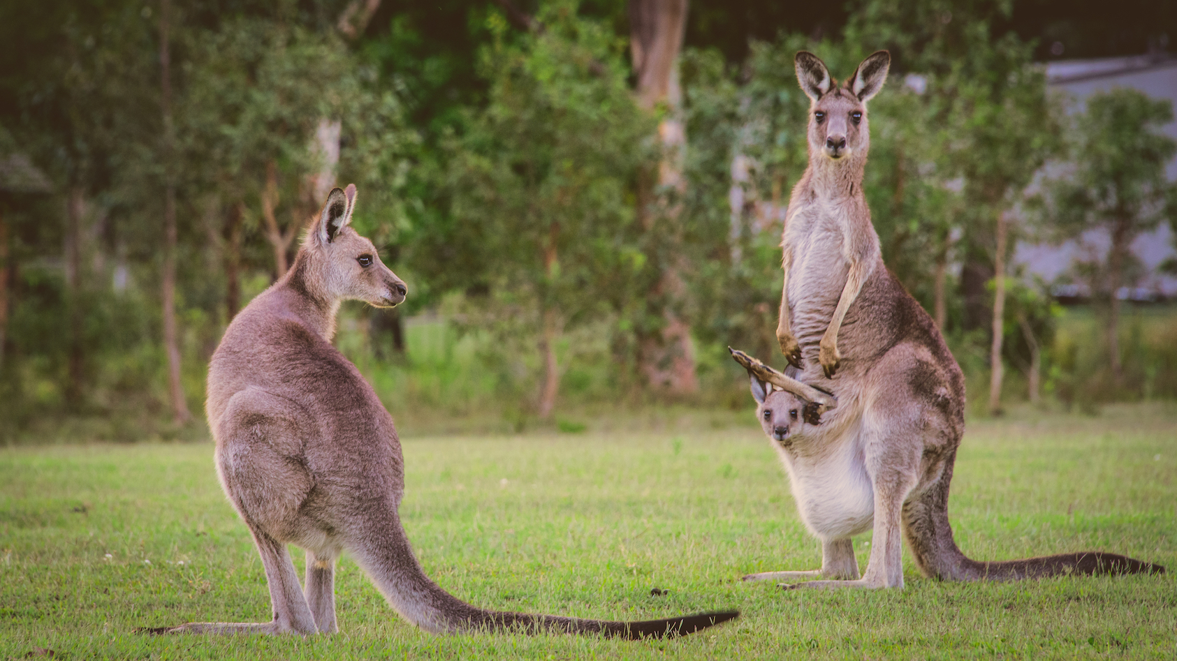 Kangaroos who live at home for longer makes them stronger and heavier and improves their long-term survival odds.