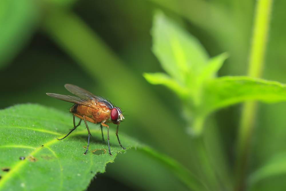 Obese fruit flies are showing scientists how genes control human metabolism and cold tolerance.