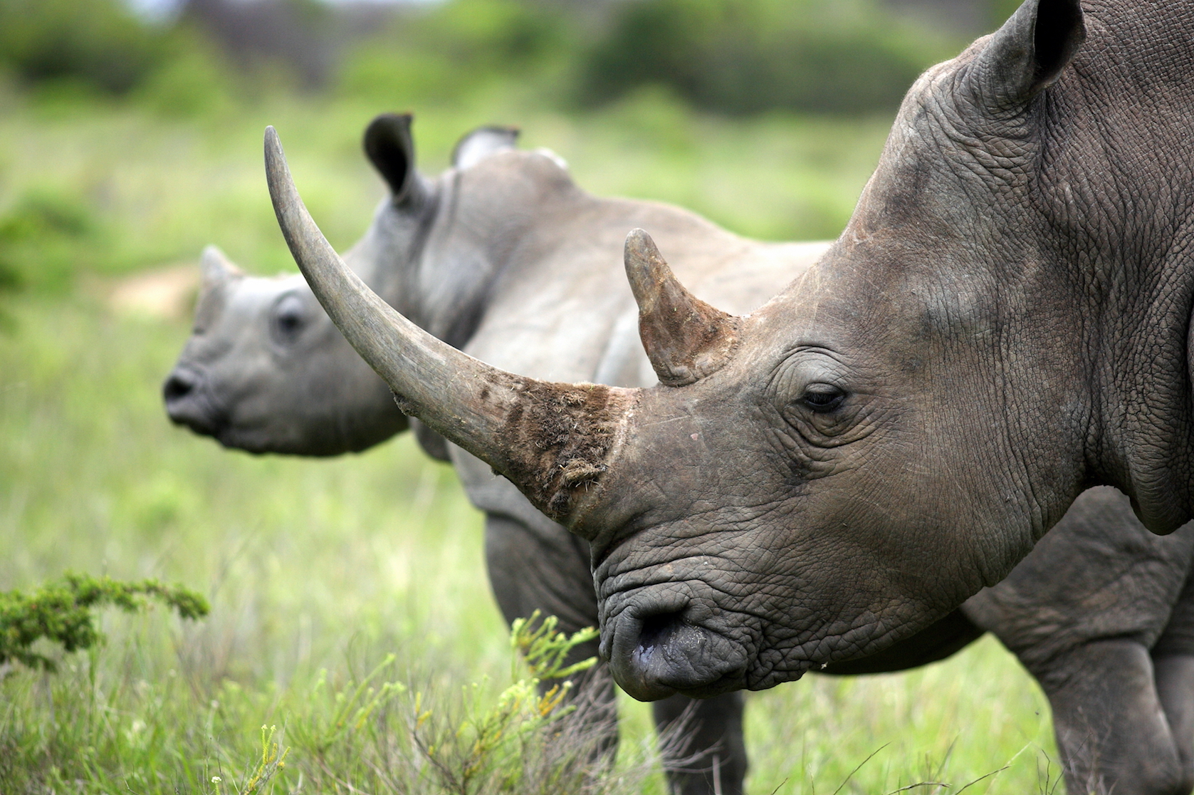 Authorities, relying on a tip, seized 18 rhinoceros horns crated as art objects at the Malaysian airport in Kuala Lumpur.