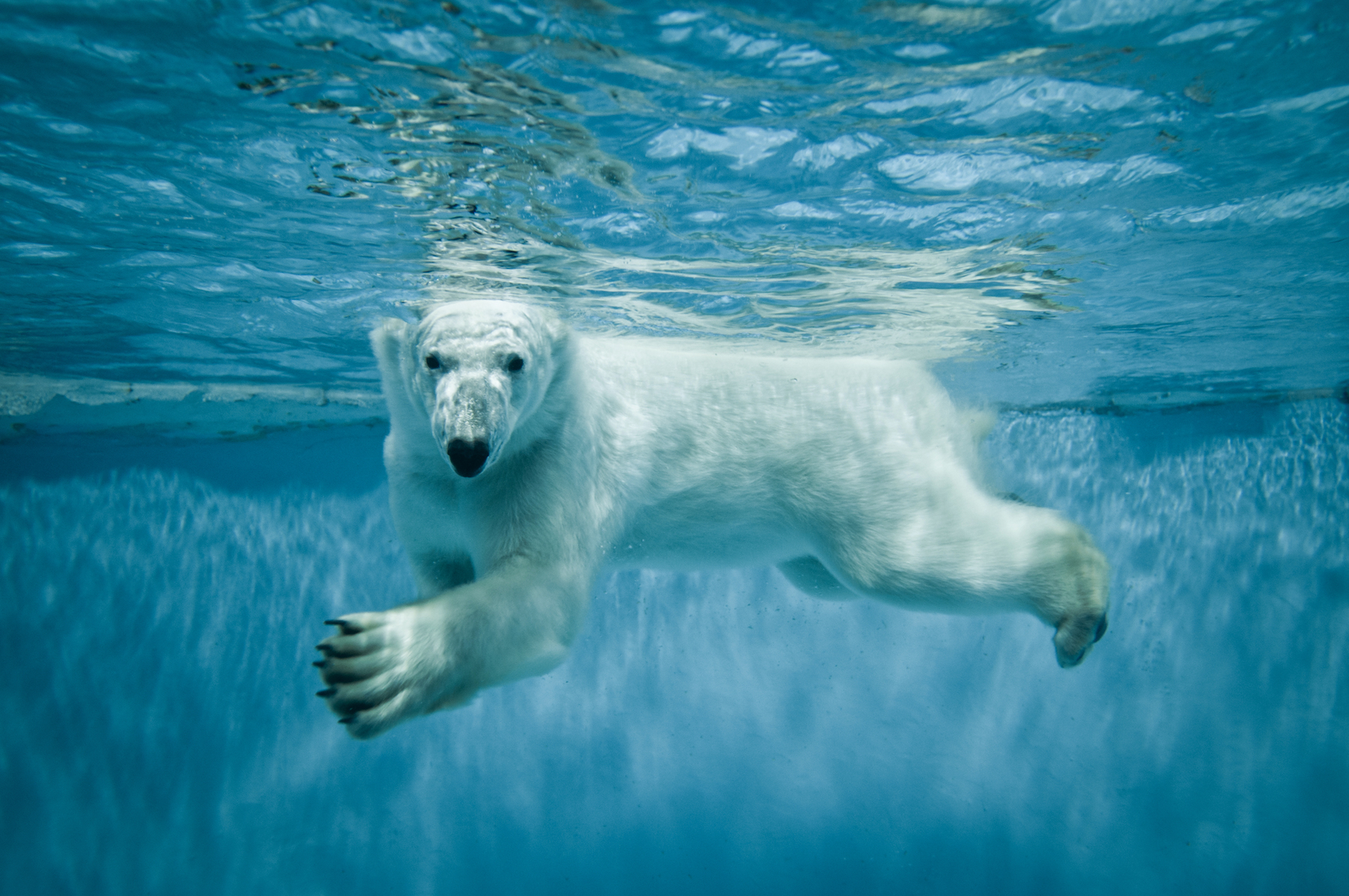 Researchers have discovered the tactics behind how polar bears hunt for ringed seals. Hold onto your hat because this answer may shock you.