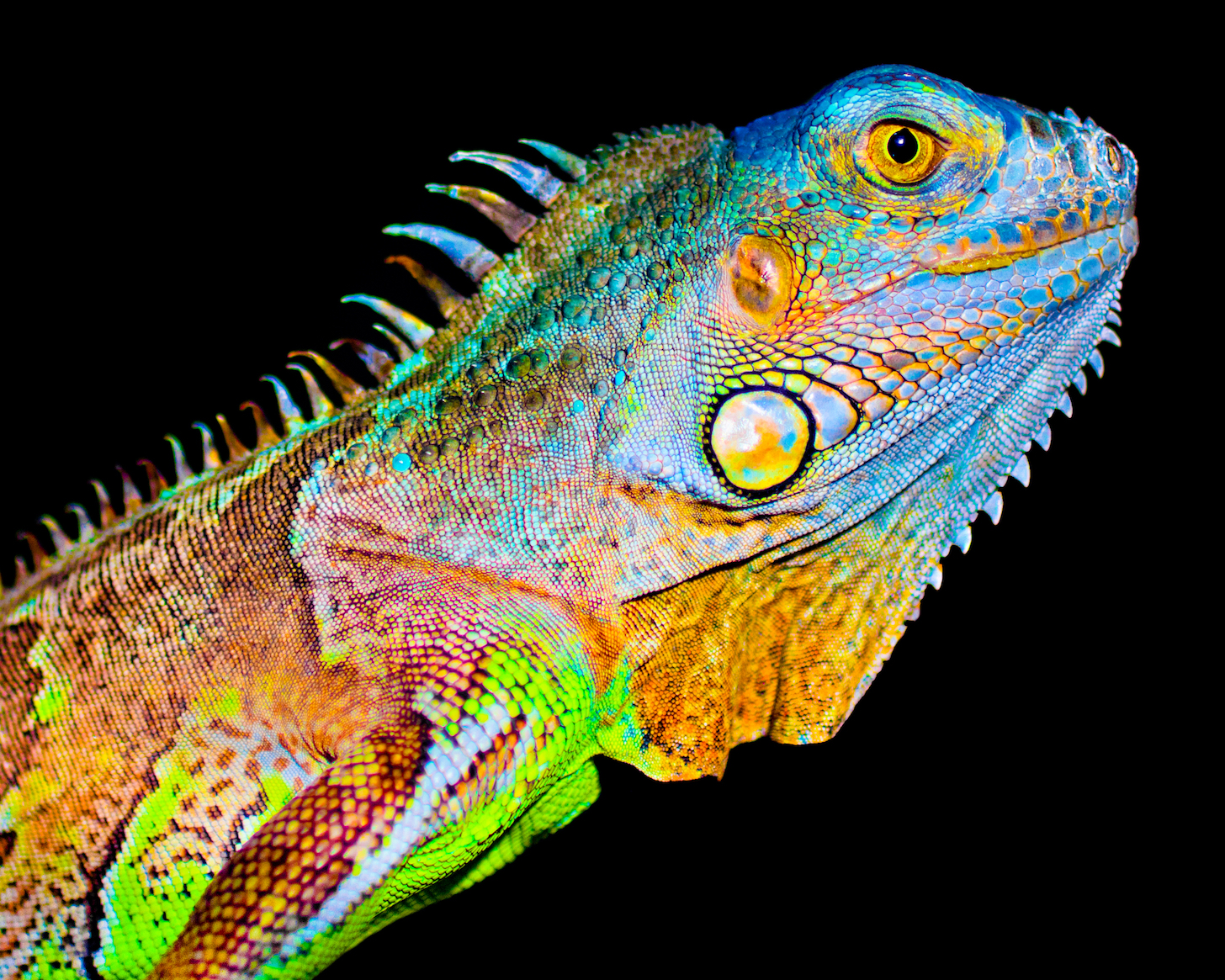 A new study finds that the ocellated lizard changes its skin color through interactions among pigment cells.