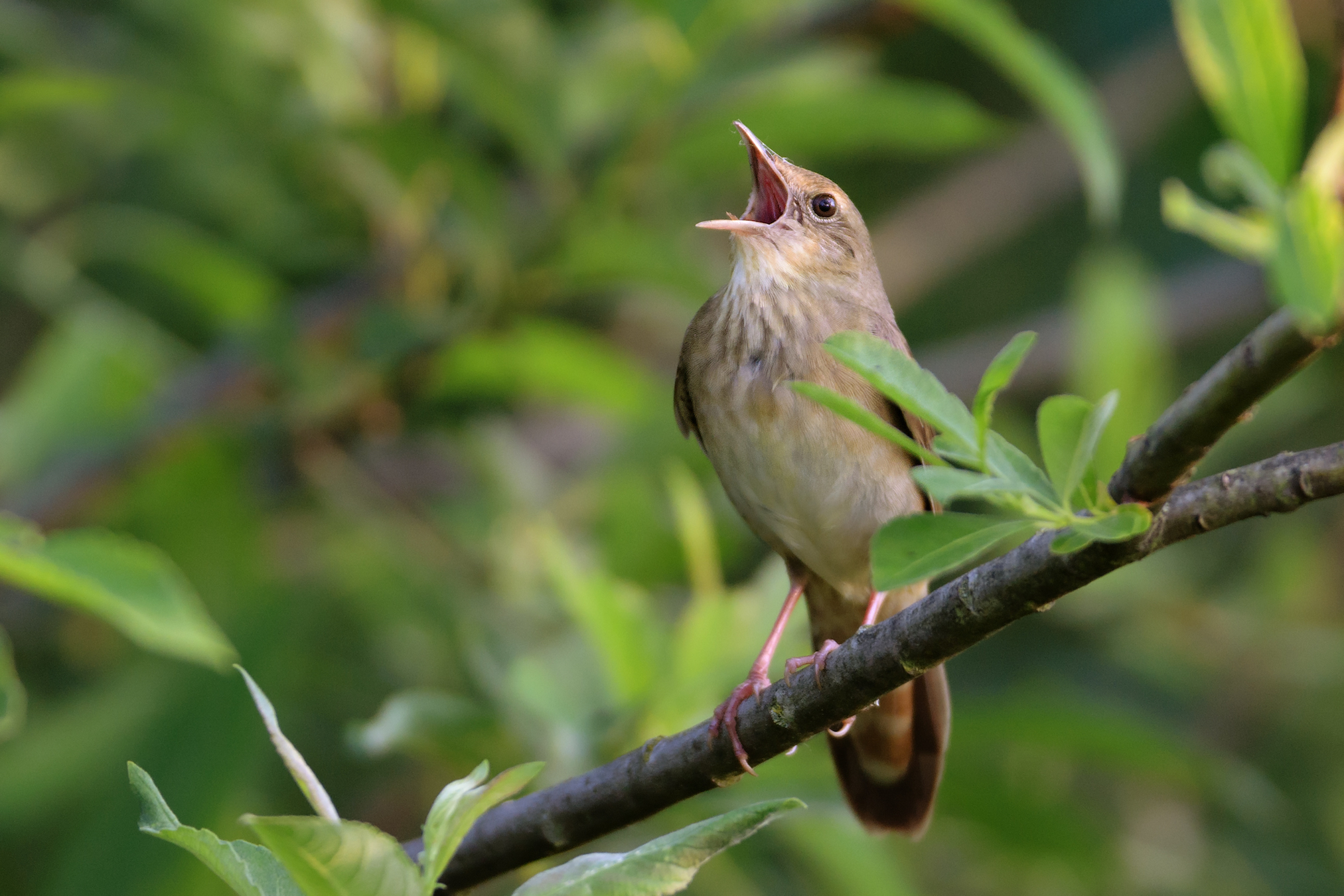 According to a new study, birds have changed both the length and frequencies of their songs as a result of shifts in traffic noise.