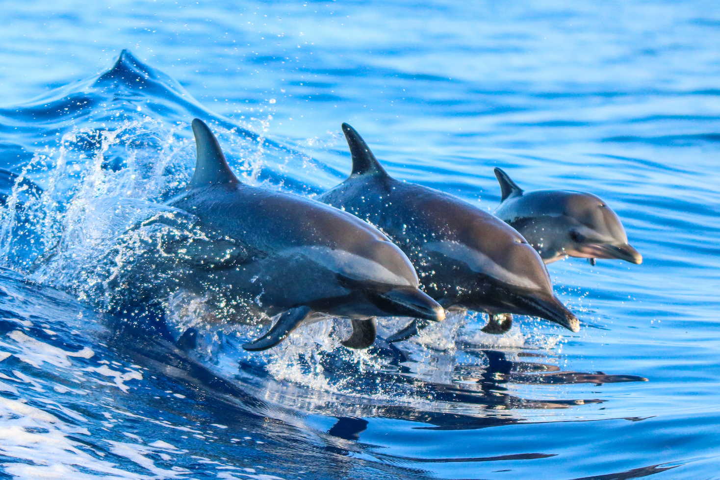 Slow development could put young dolphins at risk of being separated from their mothers during pursuits by commercial tuna fishing fleets.