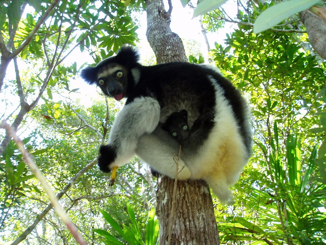 Bemaraha Woolly Lemur Avahi Cleesei Earthcom