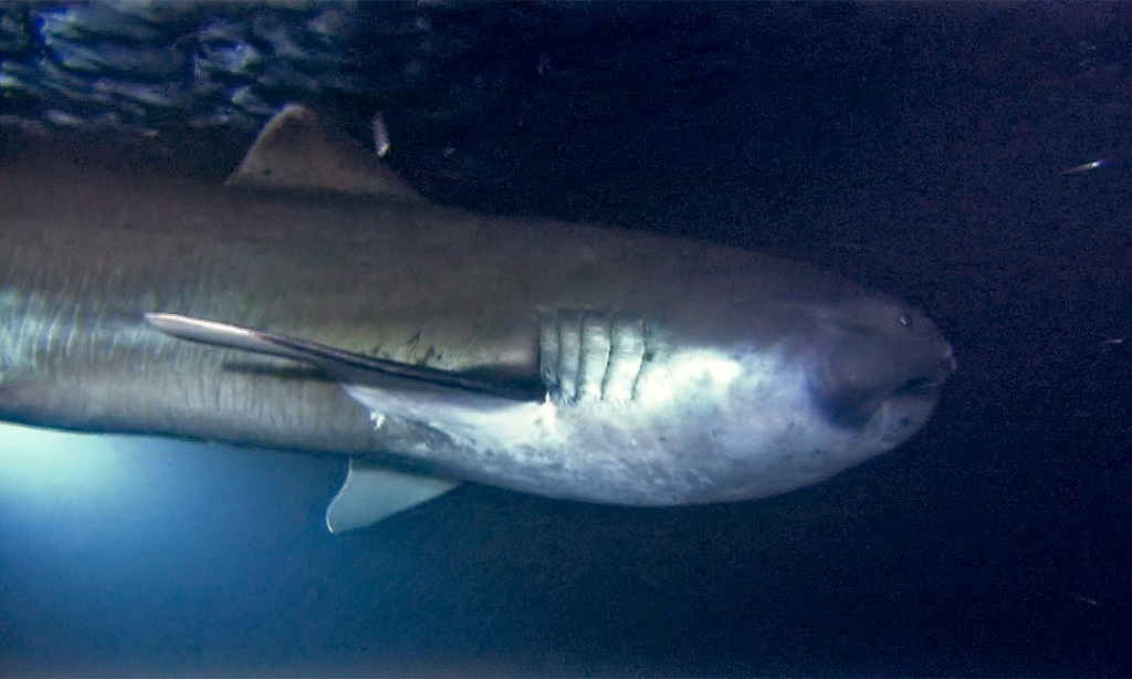 megamouth shark megachasma pelagios earth com