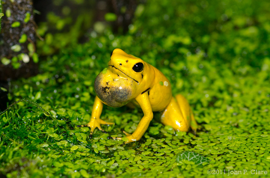 golden poison frog phyllobates terribilis earth com