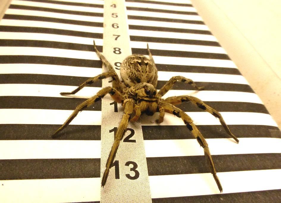 The tarantula species Lycosa uses its eyes like an odometer to measure distance, according to a new study on spiders by Autonomous University
