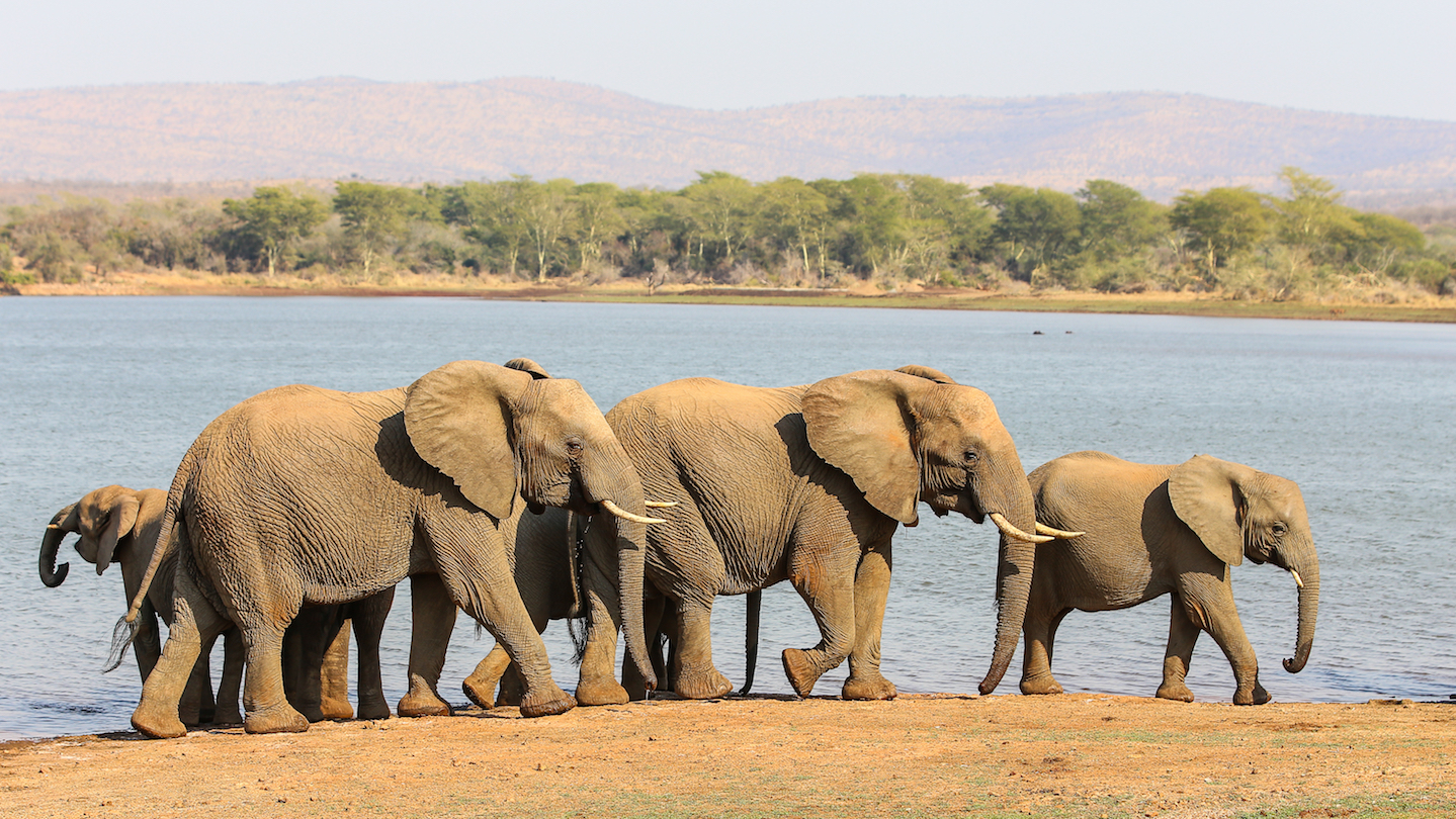Africa's protected areas are missing 730,000 elephants which are believed to have been slaughtered by poachers, according to a study