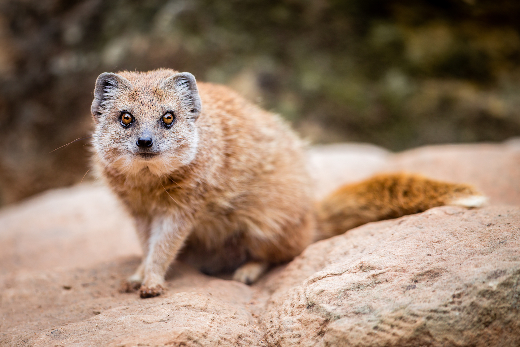 A new study reveals that banded mongoose families actually target close relatives when they evict members from their social groups.