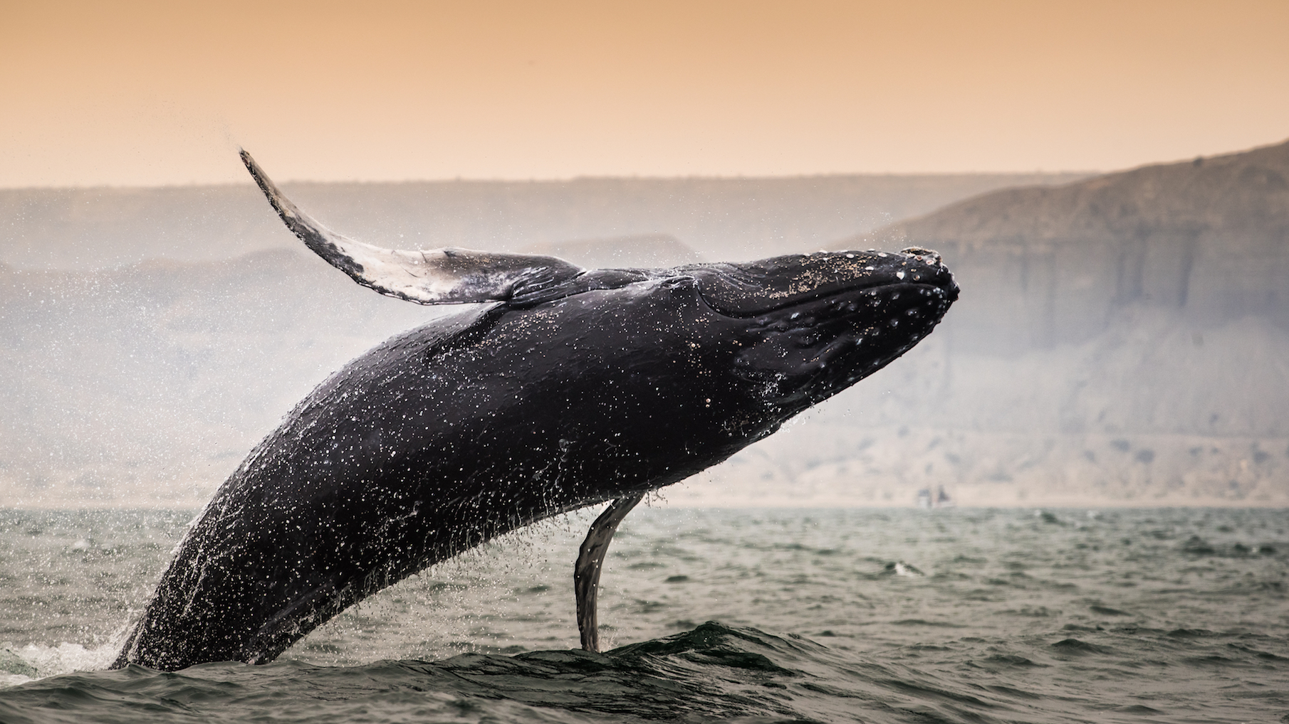 Humpback whales and boats are colliding more often than researchers previously believed, according to a new study.