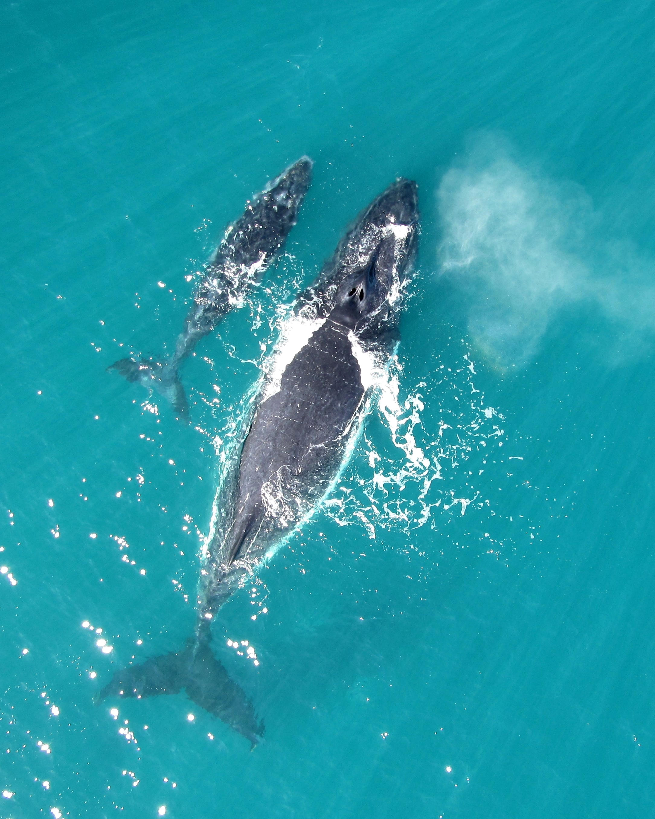"""To avoid danger from killer whales, newborn humpback whales """"whisper"""" to their mothers, according to a new study by Aarhus University."""