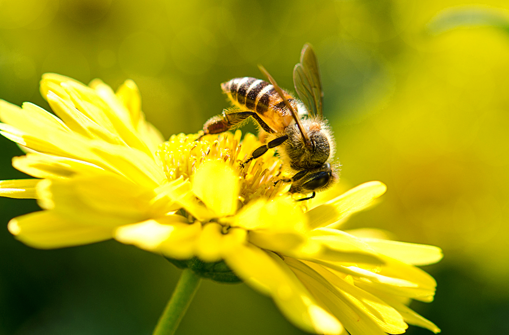 Biologists at UC San Diego have shown that the popular pesticide thiamethoxam can significantly damage the ability of honey bees to fly.