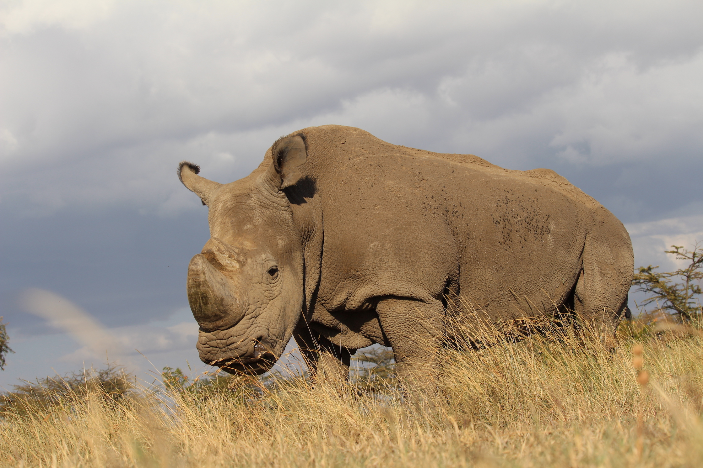 A new campaign by a Kenyan wildlife conservancy and the dating app Tinder aims to save endangered white rhinos.