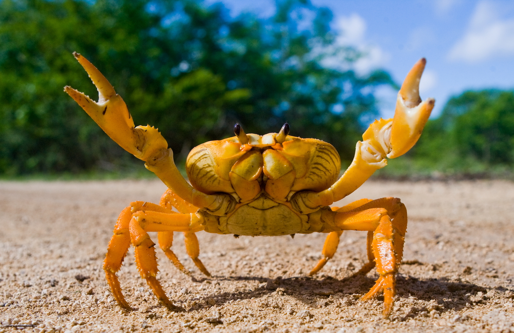 In an effort to avoid predators, ghost crabs in the Solomon Islands seek out natural surroundings that match their color.