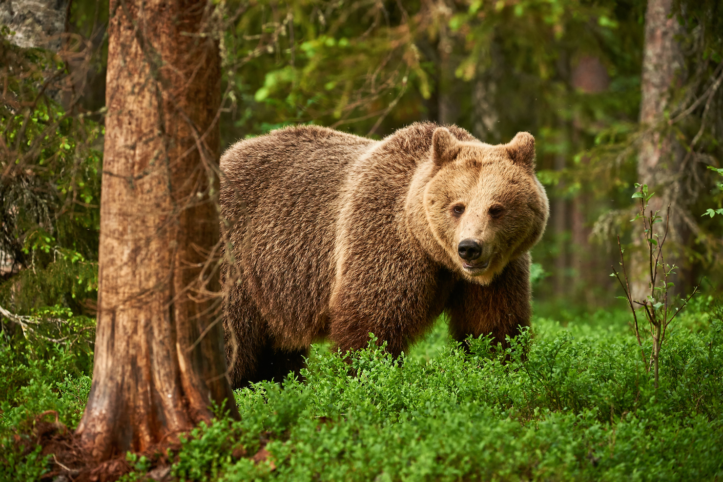 When brown bears twist their feet into the ground, it leaves behind a scent containing up to 26 compounds that let other bears know.