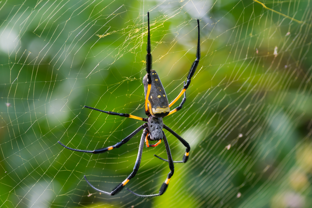 A group of scientists led by the University of Pennsylvania has sequenced the full golden orb-weaver genome to learn more about spider silk.