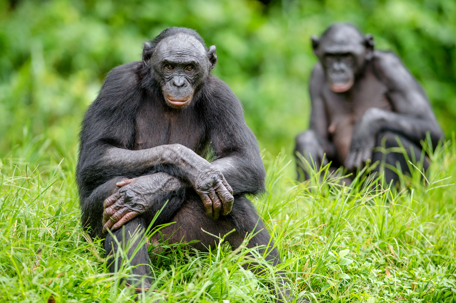 The rare great ape bonobos may be more closely linked, anatomically, to human ancestors than common chimpanzees, a new study found.