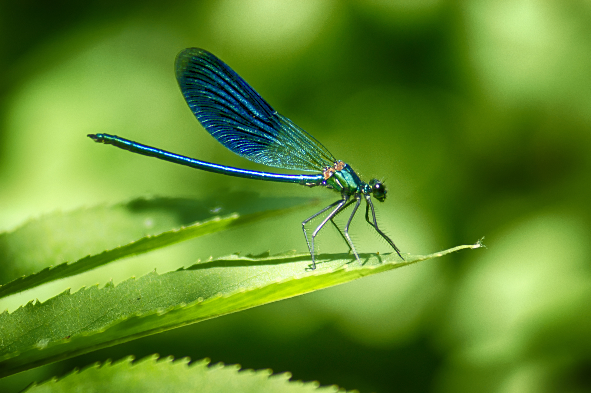 A new study reports that female dragonflies have a not-so-subtle way of getting rid of unwanted suitors: they pretend to be dead.