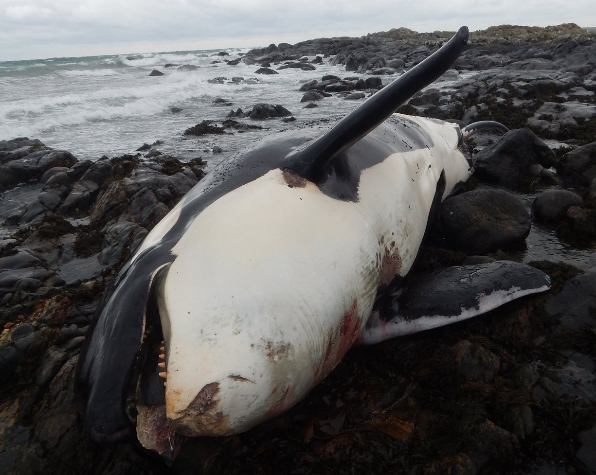Lulu the whale died containing one of the highest levels of polychlorinated biphenyl (PCB) pollution ever recorded in the species.