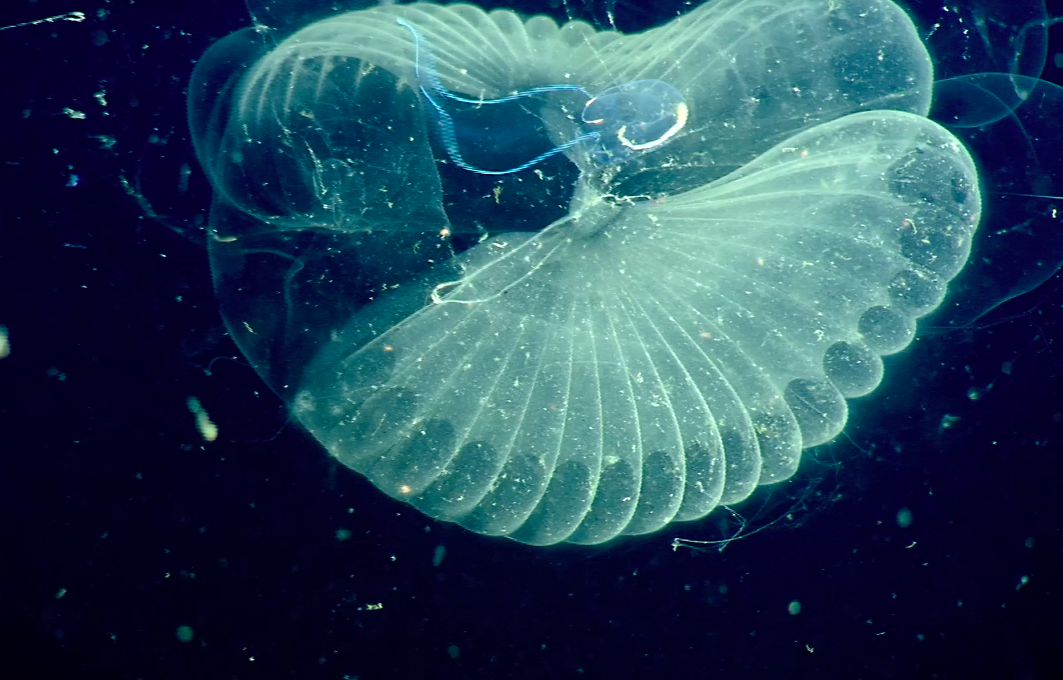 Scientists have gained new insights into how giant larvaceans help transfer carbon from the atmosphere to the deep ocean.