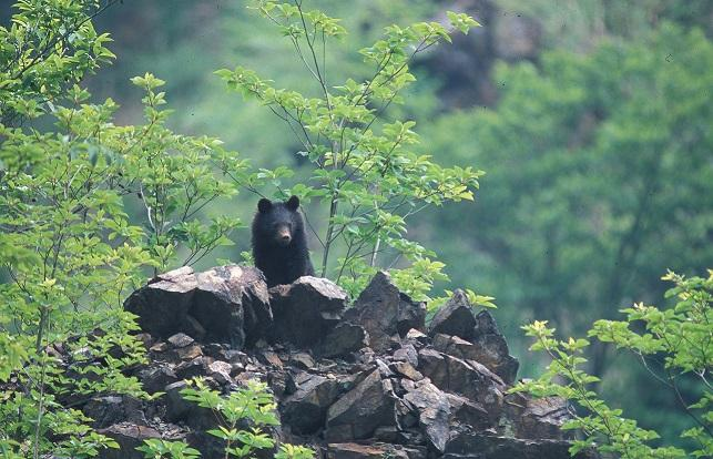 A new study found that Asiatic black bears focus on finding protein-rich food leading up to the summer so that they can replace fat tissue.