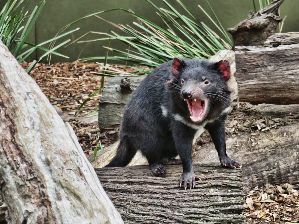 Biologists are a step closer to figuring out Tasmanian devil facial tumor disease, a transmissible cancer that is almost always fatal.