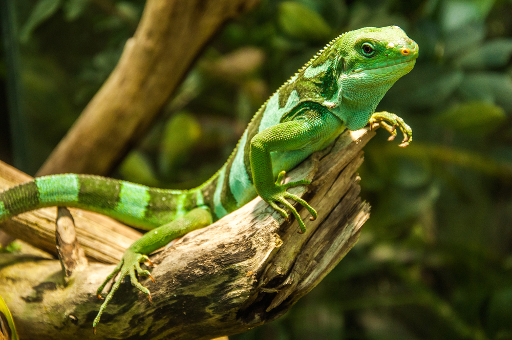 Even a small rise in temperature can affect lizards' gut bacteria, a new study has found.